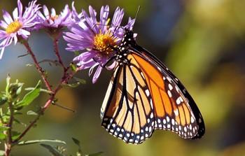 monarch_butterfly_193610[1].jpg